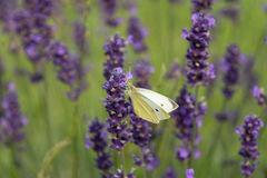 lavender λουλουδιών πεταλούδ Στοκ φωτογραφία με δικαίωμα ελεύθερης χρήσης