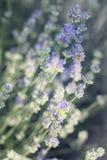 lavender λουλουδιών Στοκ Εικόνες