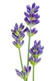 lavender λουλουδιών Στοκ φωτογραφίες με δικαίωμα ελεύθερης χρήσης