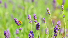 lavender λουλουδιών φιλμ μικρού μήκους