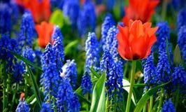 lavender λουλουδιών Στοκ Φωτογραφία