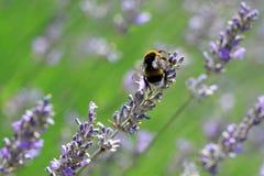 Lavender λουλούδια με bumblebee Στοκ φωτογραφίες με δικαίωμα ελεύθερης χρήσης