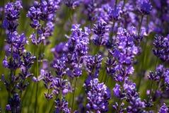 Lavender λουλούδια στον τομέα το καλοκαίρι Στοκ φωτογραφίες με δικαίωμα ελεύθερης χρήσης