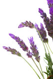 Lavender λουλούδια στο λευκό Στοκ Εικόνα