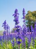 Lavender λουλούδια Στοκ εικόνα με δικαίωμα ελεύθερης χρήσης