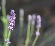 Lavender λουλούδι και εγκαταστάσεις, χορτάρια που αυξάνονται στον κήπο Στοκ Φωτογραφία