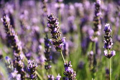 Lavender λουλούδι στην κινηματογράφηση σε πρώτο πλάνο Στοκ Εικόνα