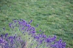 Lavender λουλούδι στον κήπο, πάρκο, κατώφλι, άνθος λιβαδιών στο θόριο Στοκ Εικόνες