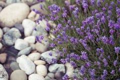 Lavender λουλούδι στον κήπο, πάρκο, κατώφλι, άνθος λιβαδιών στο θόριο Στοκ Φωτογραφία