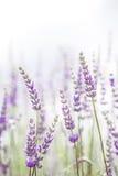 Lavender λουλούδι στον κήπο, πάρκο, κατώφλι, άνθος λιβαδιών στο θόριο Στοκ εικόνες με δικαίωμα ελεύθερης χρήσης