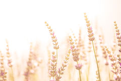 Lavender λουλούδι στον κήπο, πάρκο, κατώφλι, άνθος λιβαδιών στο θόριο Στοκ Φωτογραφίες