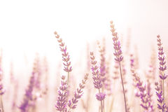 Lavender λουλούδι στον κήπο, πάρκο, κατώφλι, άνθος λιβαδιών στο θόριο Στοκ φωτογραφίες με δικαίωμα ελεύθερης χρήσης
