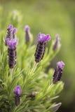 Lavender λουλούδι Στοκ Φωτογραφία