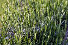 Lavender οφθαλμοί Στοκ Εικόνα