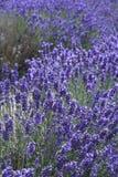 lavender πεδίων ανθών αγγλική φύση Στοκ φωτογραφίες με δικαίωμα ελεύθερης χρήσης