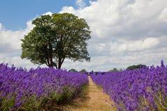 lavender πεδίων καλοκαίρι Στοκ Εικόνα