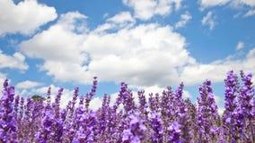 lavender πεδίων καλοκαίρι Στοκ φωτογραφία με δικαίωμα ελεύθερης χρήσης