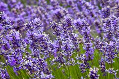 lavender πεδίων καλοκαίρι Στοκ Φωτογραφίες