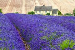 lavender πεδίων καλοκαίρι Στοκ Εικόνες