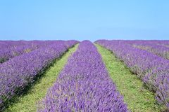 lavender πεδίων καλοκαίρι Στοκ εικόνα με δικαίωμα ελεύθερης χρήσης