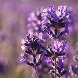 lavender πεδίων μακρο καλοκαίρ&iot Στοκ Εικόνες