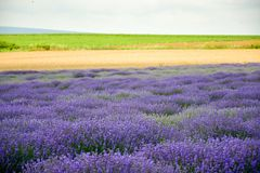 lavender πεδίων σίτος Στοκ Φωτογραφία