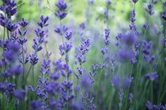 lavender πεδίων φυτό Στοκ Εικόνες