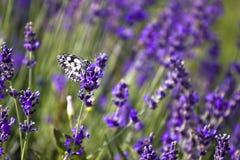 lavender πεδίων Στοκ φωτογραφία με δικαίωμα ελεύθερης χρήσης