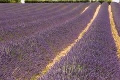 lavender πεδίων Στοκ εικόνες με δικαίωμα ελεύθερης χρήσης