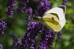 lavender πεταλούδων λευκό Στοκ Εικόνα