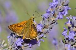 lavender πεταλούδων πλοίαρχος &m Στοκ Εικόνα