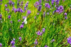 lavender πεταλούδων πορφύρα Στοκ Φωτογραφίες
