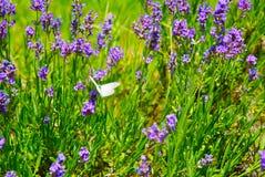 lavender πεταλούδων πορφύρα Στοκ Εικόνες