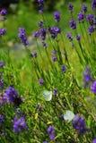 lavender πεταλούδων Στοκ Εικόνες