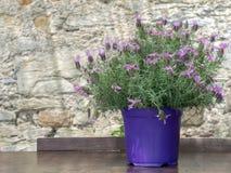 Lavender πεταλούδων εγκαταστάσεις στο δοχείο Pedunculata Lavandula Στοκ εικόνα με δικαίωμα ελεύθερης χρήσης