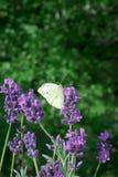 Lavender πεταλούδων διαστημικό υπόβαθρο αντιγράφων Στοκ Φωτογραφίες