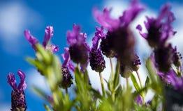 Lavender πεταλούδων και υπόβαθρο μπλε ουρανού Στοκ Εικόνες
