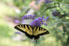 Lavender πεταλούδων λουλούδι Swallowtail Στοκ φωτογραφία με δικαίωμα ελεύθερης χρήσης