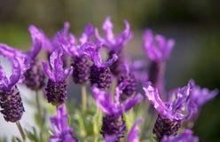 Lavender πεταλούδων πράσινο υπόβαθρο κήπων Στοκ εικόνες με δικαίωμα ελεύθερης χρήσης