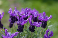 Lavender πεταλούδων πράσινο υπόβαθρο κήπων Στοκ Φωτογραφία