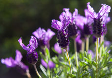 Lavender πεταλούδων στο φωτεινό υπόβαθρο φωτός του ήλιου Στοκ Εικόνα