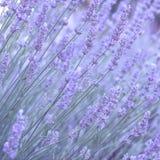 Lavender πεδίο το καλοκαίρι Στοκ φωτογραφίες με δικαίωμα ελεύθερης χρήσης