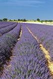lavender πνεύμα Στοκ Φωτογραφίες