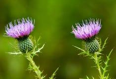 Lavender πορφυρά άνθη κάρδων στοκ φωτογραφίες