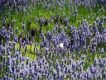 Lavender πορφυρό μπλε πεταλούδων με Στοκ Φωτογραφίες