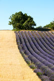 lavender Προβηγκία πεδίων Στοκ Φωτογραφίες