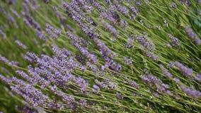 lavender Προβηγκία τοπίων της Γαλλίας χαρακτηριστική αρωματικό lavender τοπίων πεδίων βοτανικό φυτό απόθεμα βίντεο