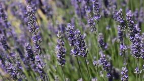 lavender Προβηγκία τοπίων της Γαλλίας χαρακτηριστική αρωματικό lavender τοπίων πεδίων βοτανικό φυτό φιλμ μικρού μήκους