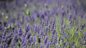 lavender Προβηγκία τοπίων της Γαλλίας χαρακτηριστική αρωματικό lavender τοπίων πεδίων βοτανικό φυτό διανυσματική απεικόνιση