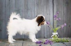 Lavender ρουθουνίσματος κουταβιών Στοκ φωτογραφία με δικαίωμα ελεύθερης χρήσης